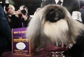 Malacky: Winner of the 2012 Westminster Dog Show